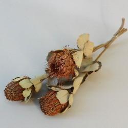 Dried Banksia - DRI002