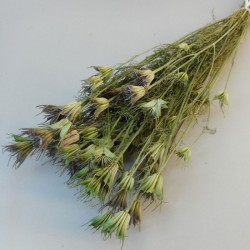 Dried Nigella Orientalis - DRI011 HH3