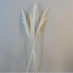 Dried Pampas Grass Bleached 75cm - DRI022
