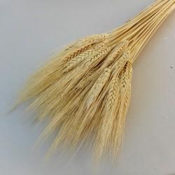 Dried Triticum Blond Bearded Wheat - DRI009 HH2