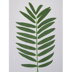 Small Cycas Leaf (Areca or Pogonatherum Palm) - PM003 I2