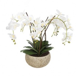 White Phalaenopsis Orchid Plant in Clay Pot Large - ORC003