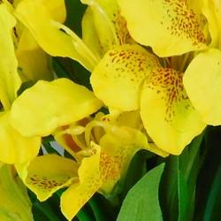 Silk Alstroemeria Bundle Yellow - A013 A2