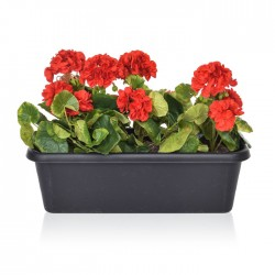 Artificial Plants Red Geraniums in Black Trough - PLA002 OF