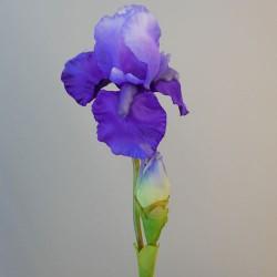 Large Flag Iris and Bud Purple - IR006 H1