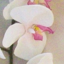 Real Touch Phalaenopsis Orchid Cream and Pink 100cm - O106 K4
