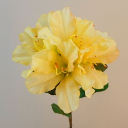 Carnival Rhododendron Yellow - R905 BX11