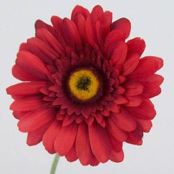 Silk Gerbera Red - G033 E2