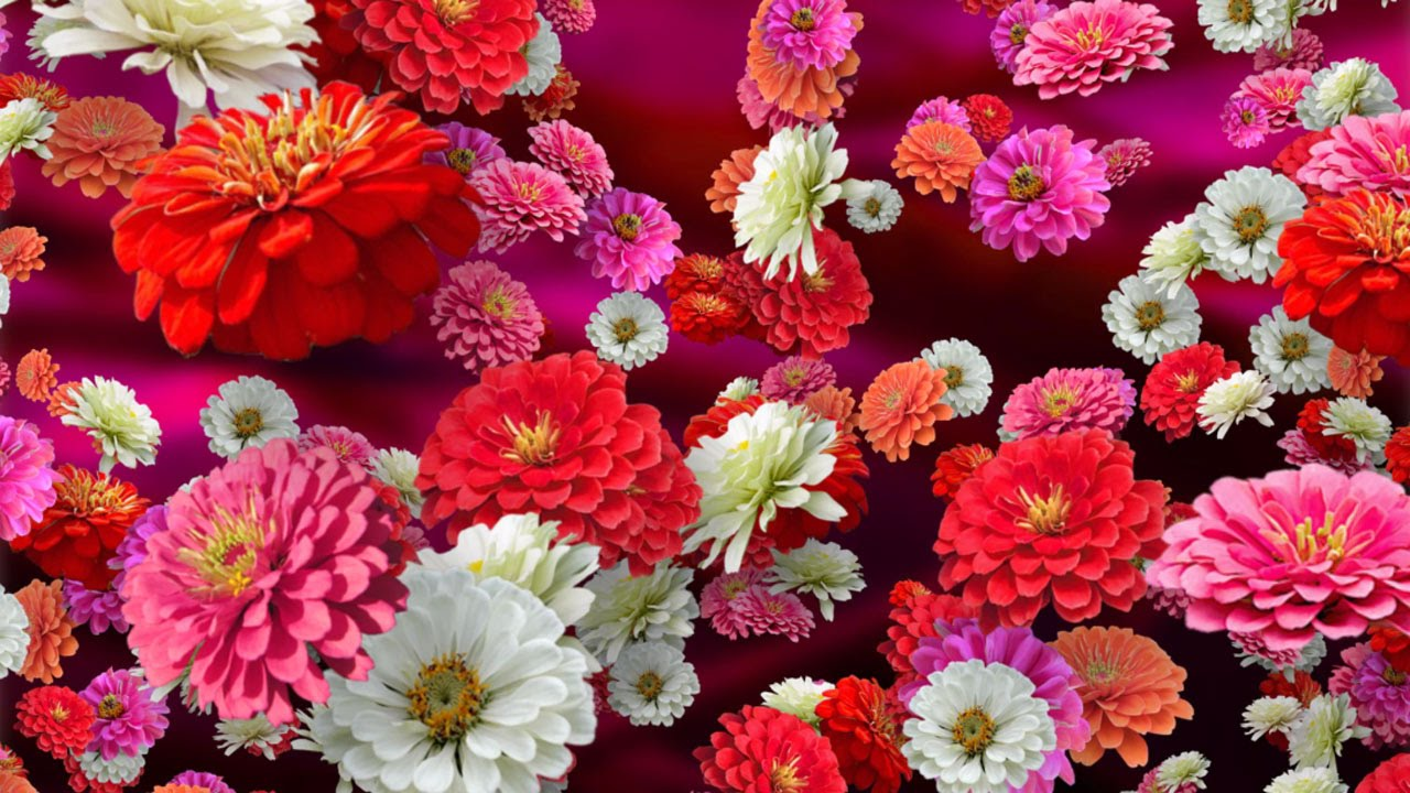 Flower Of The Year 2017 Zinnias